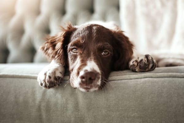 Dog on sofa at Broadstone Briar Forest in Houston, Texas