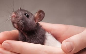 A mouse being held at North End Pet Hospital