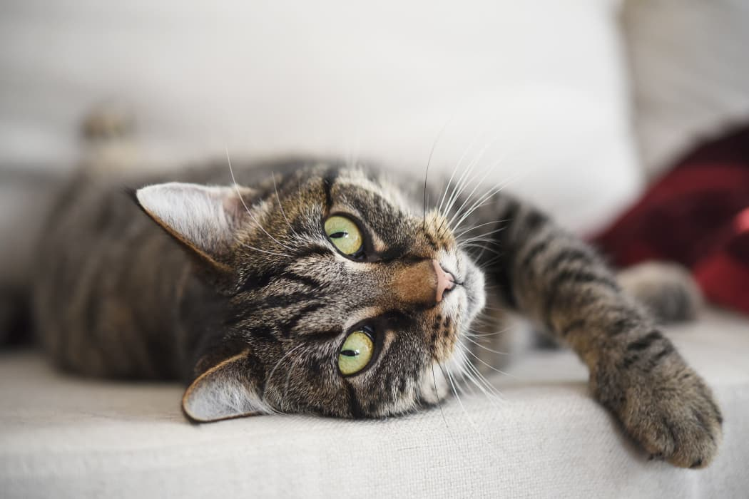 Cat laying on a couch at Jamestown Square Apartments in Blackwood, New Jersey