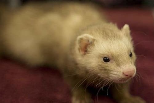 Ferret treated at Stoughton Veterinary Service Animal Hospital in Stoughton, Wisconsin