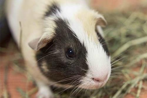 Guinea Pig treated at Stoughton Veterinary Service Animal Hospital in Stoughton, Wisconsin