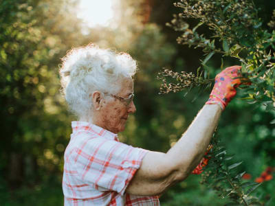 Resident picking berries in the morning at Randall Residence of Encore Village in Brighton, Michigan