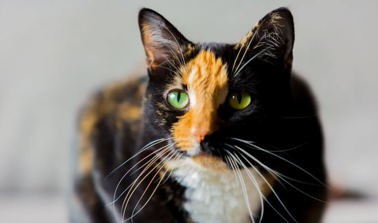 Calico cat posing for a photo at Civic Feline Clinic in Walnut Creek, CA