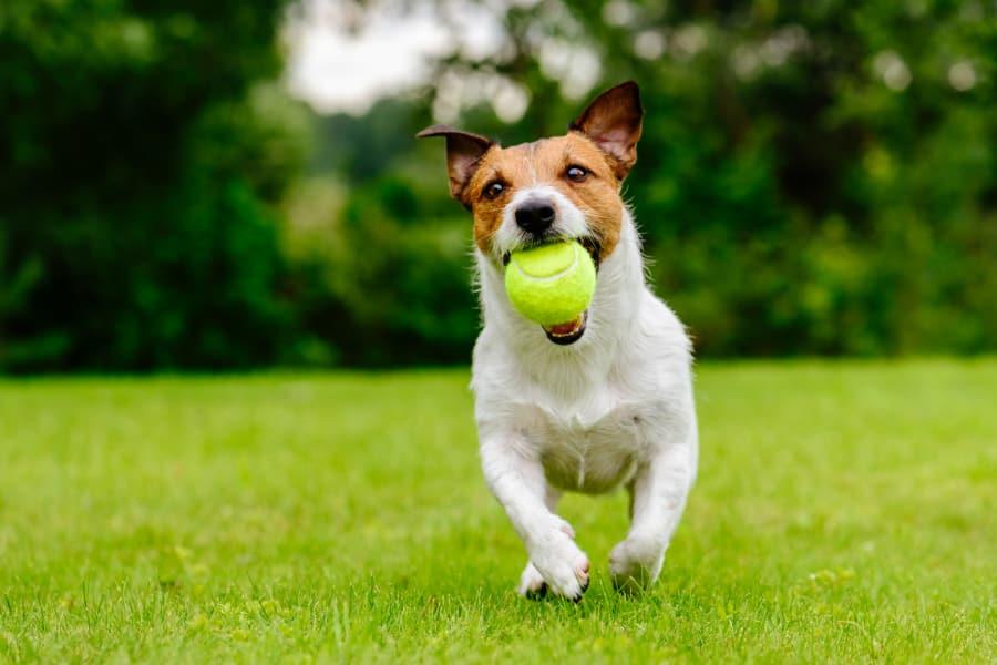 Dog playing fetch near Johnston Gardens in Johnston, Iowa