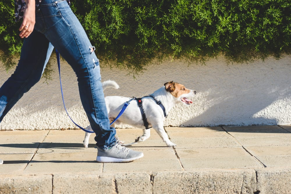 Resident walking their dog at K Street Flats Apartment Homes in Berkeley, California