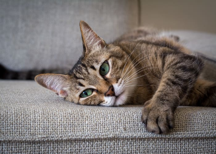 Cat laying on the couch at Sage Luxury Apartment Homes in Phoenix, Arizona