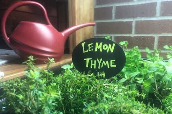 Lemon and thyme in the resident garden at Merrill Gardens.