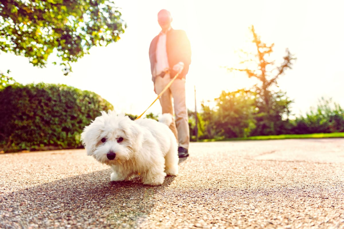 A resident walking a small dog at Carnegie Heights at Henderson in Henderson, Nevada