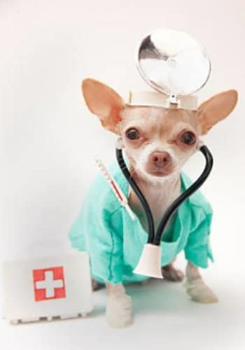 Chihuahua dressed like a vet at Value Pet Clinic - Kent