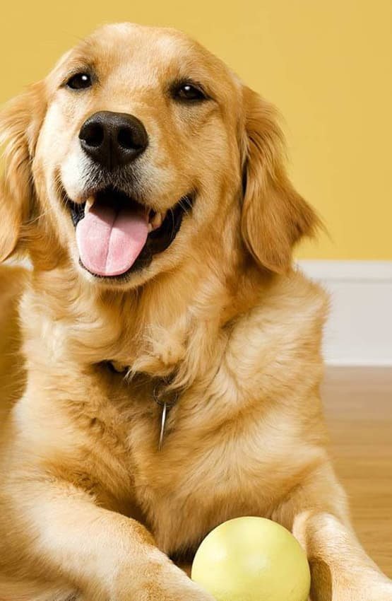 Happy Golden Retriever at Value Pet Clinic - Kent