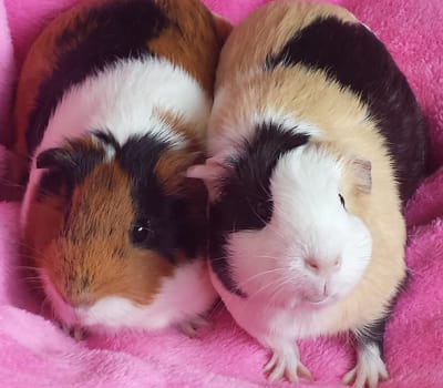 Little guinea pigs hanging out together at Starch Pet Hospital in Des Moines, Iowa