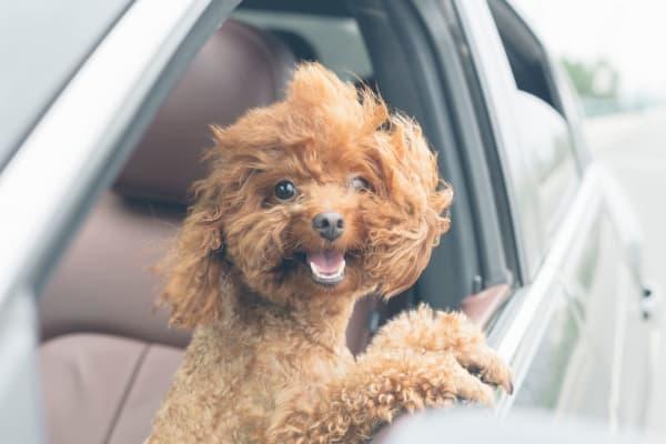Happy dog sitting in a car at Gramercy Scottsdale in Scottsdale, Arizona