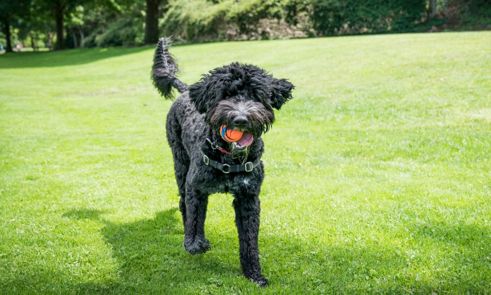 Happy dog with a ball in her mouth on the green grass outside her apartment at Oaks Union Depot in St. Paul, Minnesota