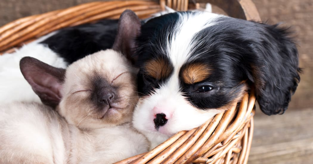 Kitty and pup in a basket relaxing together in their new apartment home at IMT Beverly Arnaz in Los Angeles, California