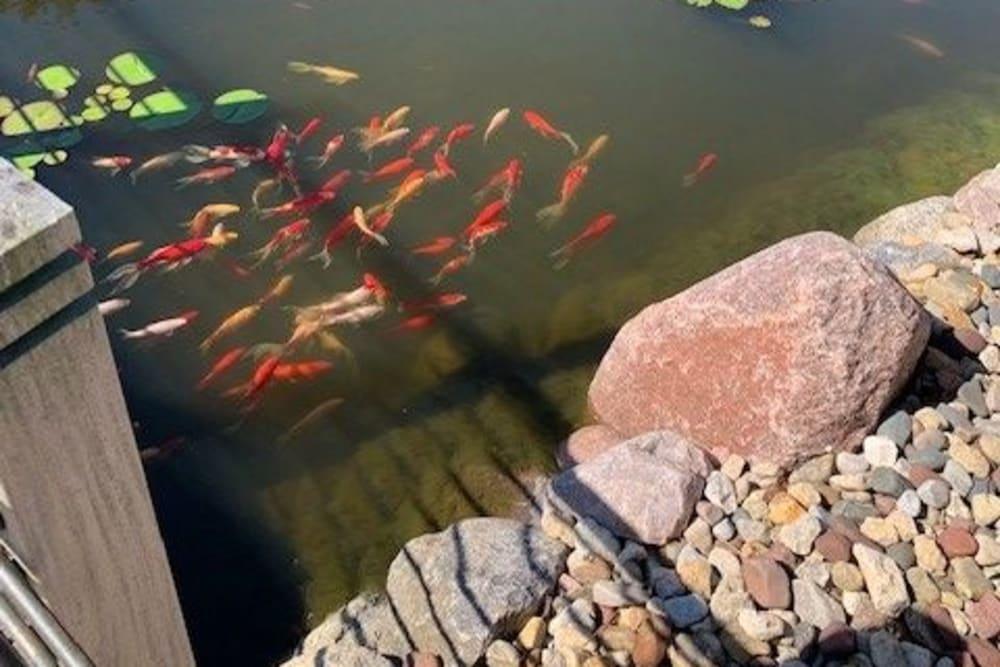 Goldfish in the pond at Prairie Hills Clinton in Clinton, Iowa.