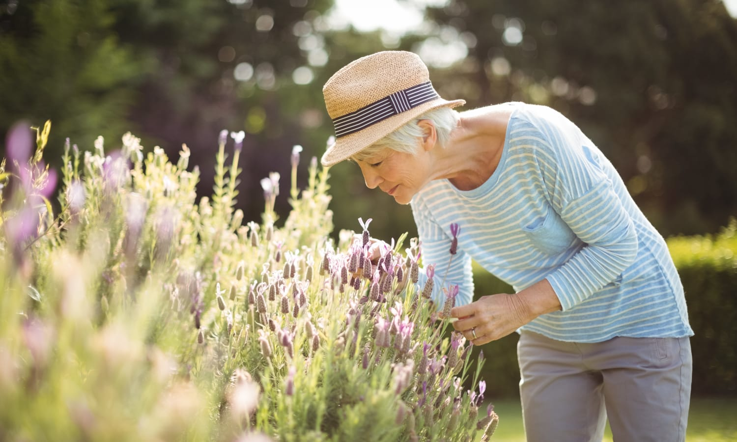 A woman picking lavender near La Conner Retirement Inn in La Conner, Washington
