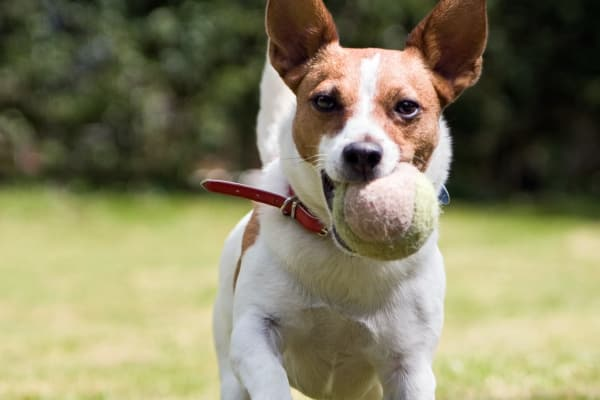 Dog running with a ball at Link in Austin, Texas