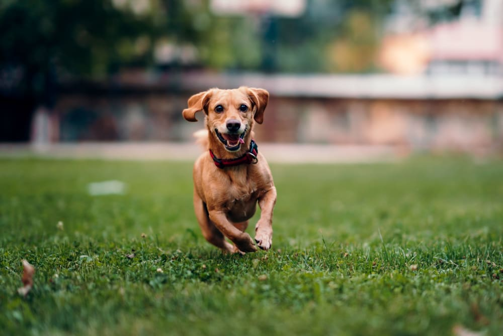 A resident pup enjoying the lush green grass at Silver Lake Hills in Fenton, Michigan