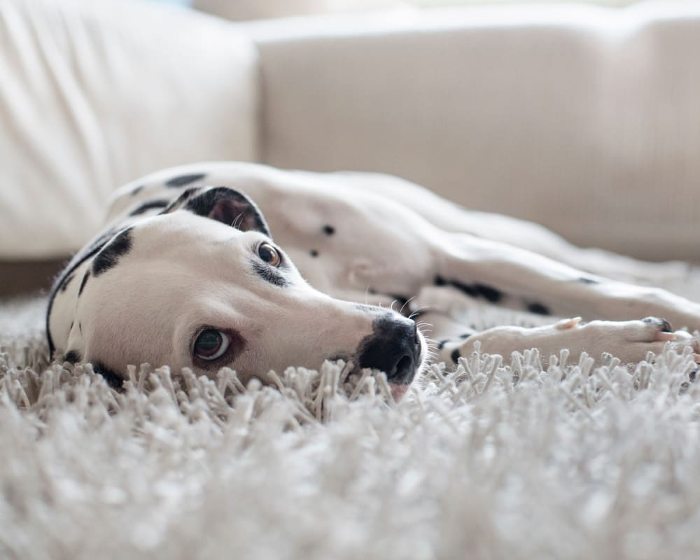 Dalmatian enjoying her new home at Cielo Boca in Boca Raton, Florida