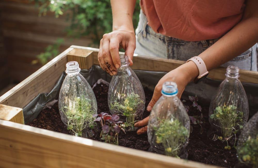 Repurposing plastic bottles in garden