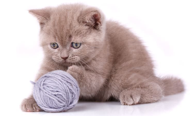 Kitten playing with a ball of yarn at Civic Feline Clinic in Walnut Creek, CA
