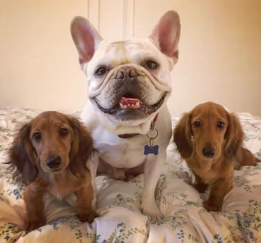 Two dachshunds and a french bulldog pose for a photo at Symphony Veterinary Center