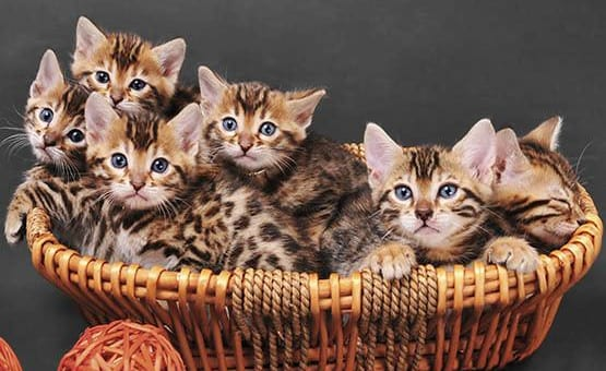 Basket full of kittens at Civic Feline Clinic in Walnut Creek, CA