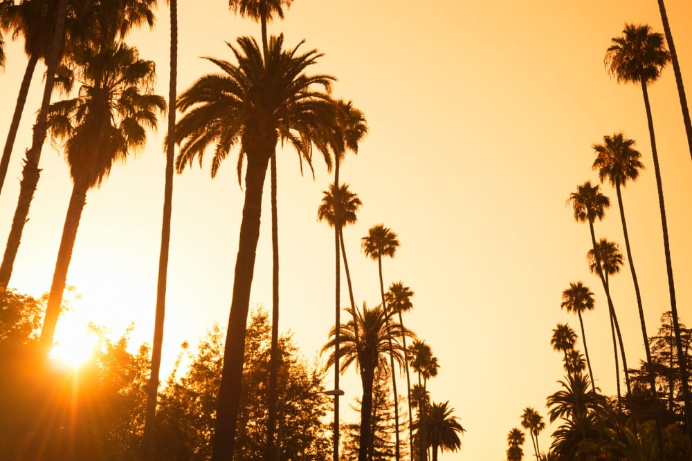 Palm trees along the boulevard on another sunny afternoon near Mediterranean Village in West Hollywood, California