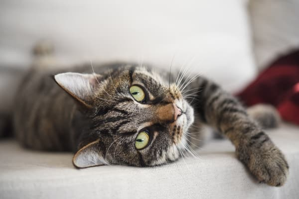 Cat friendly at Cedar Hills Apartments in Portland, Oregon