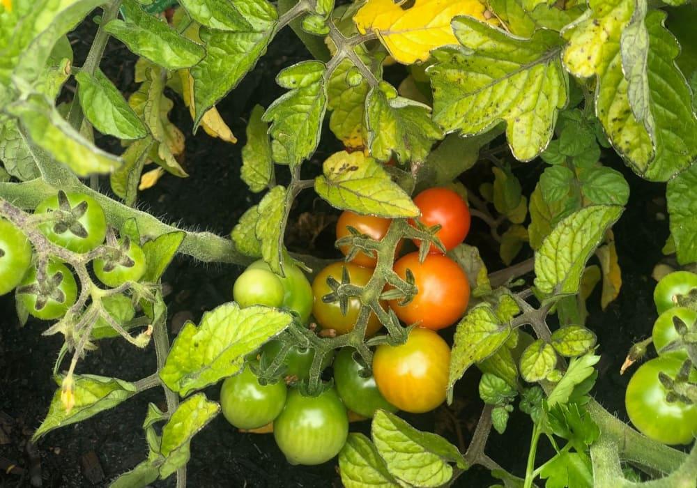 Tomato plant in the garden at Peninsula Reflections in Colma, California