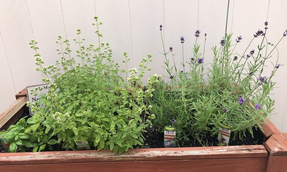 Herbs at The Birches at Harleysville in Harleysville, Pennsylvania