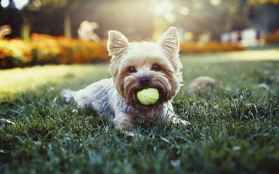 Happy pup playing with a ball outside his new Highlands at Alexander Pointe home in Charlotte, NC