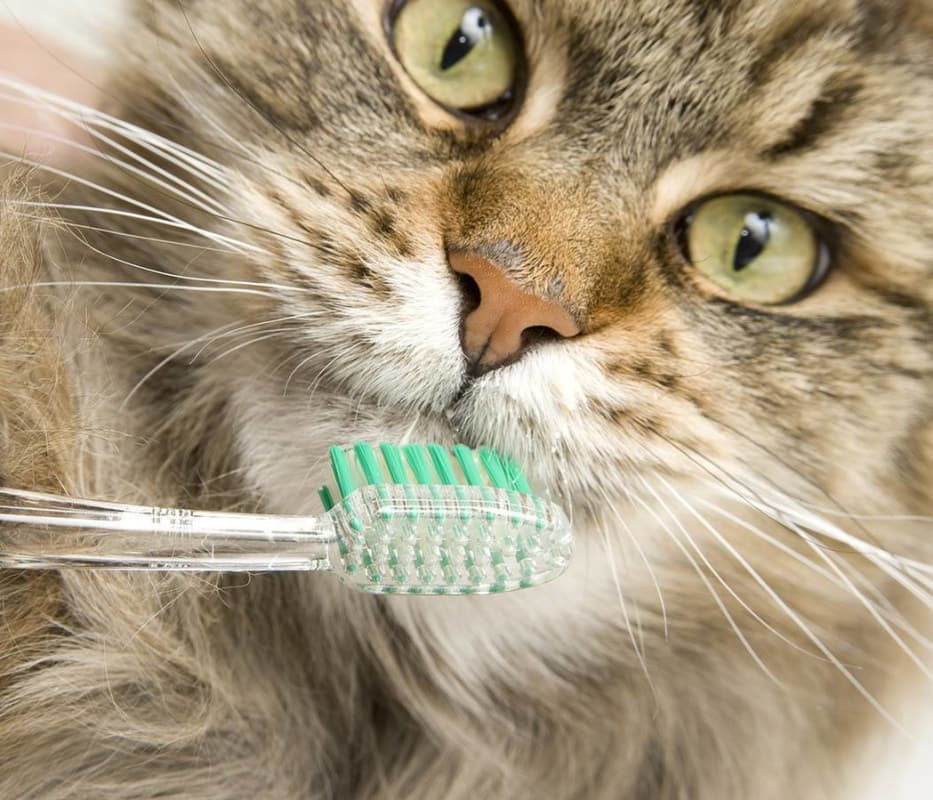 Cat with toothbrush at The Animal Hospital on the Golden Strip in Williamsport, Pennsylvania