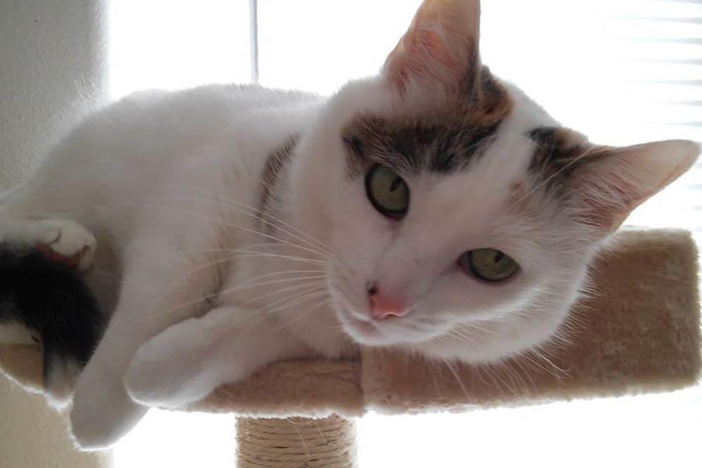 Akira cat at Sheridan Road Veterinary Clinic in Tulsa