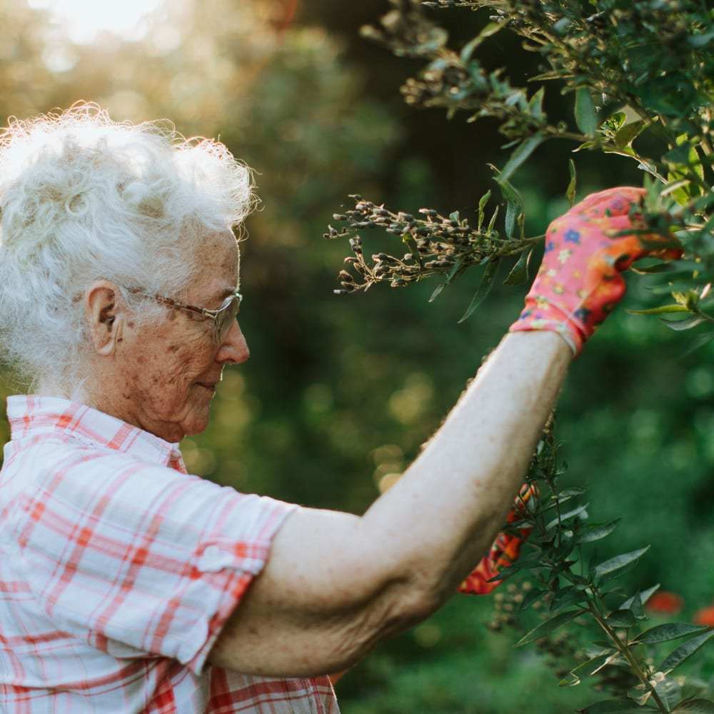 Resident picking berries in the morning at Randall Residence of Centerville in Centerville, Ohio