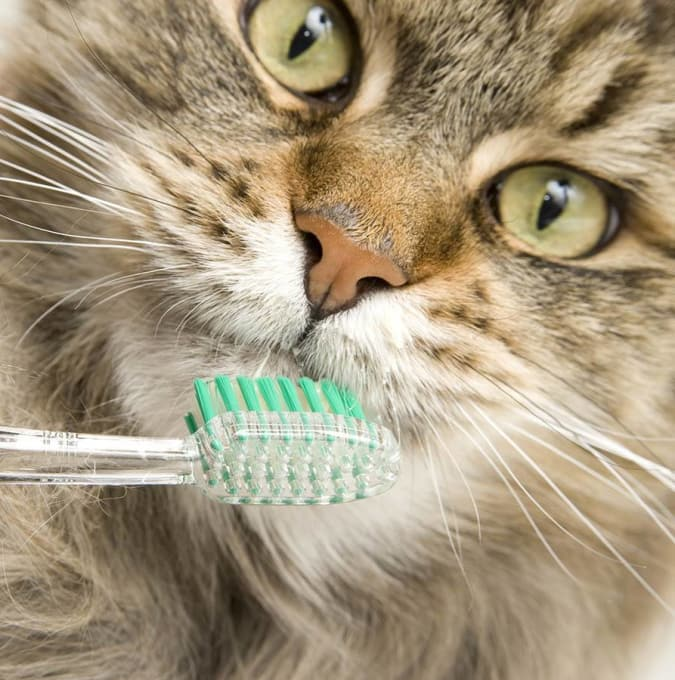 Cat with toothbrush at Angeles Clinic For Animals in Port Angeles, Washington