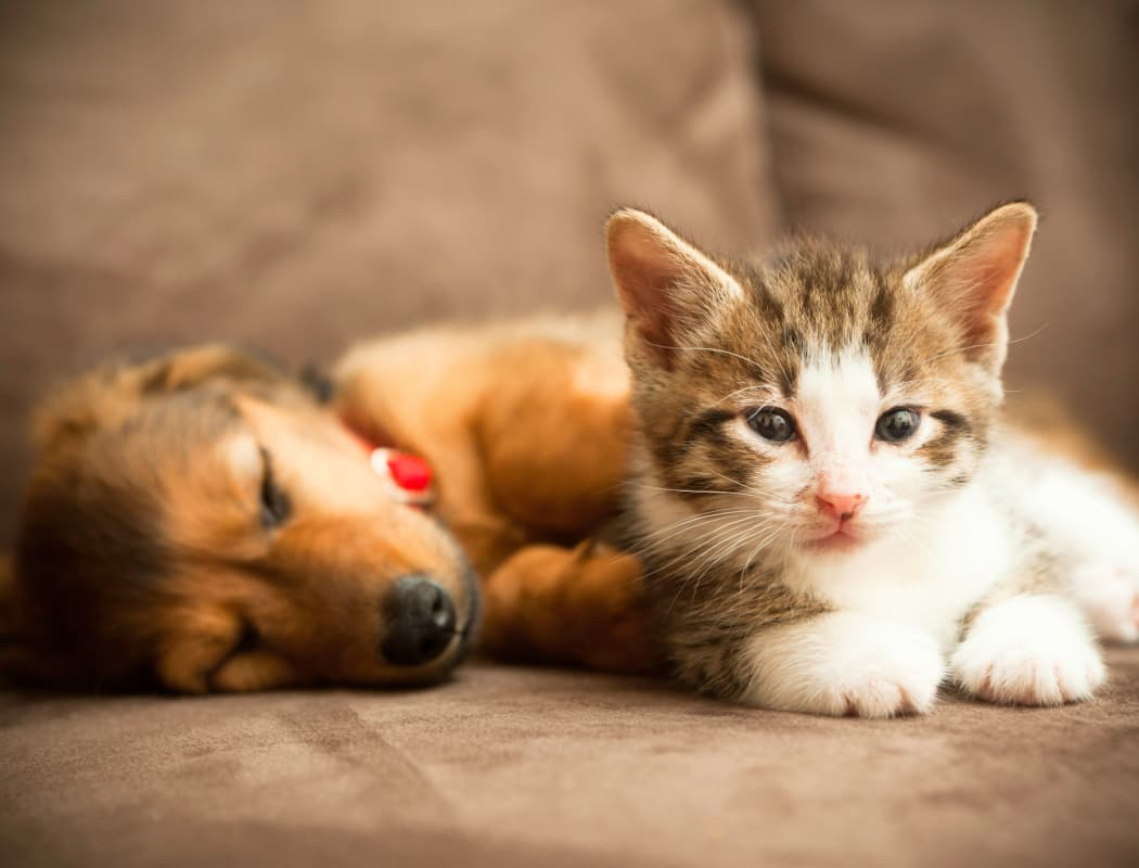 Puppy and kitten laying together at The Gradely in Albuquerque, New Mexico
