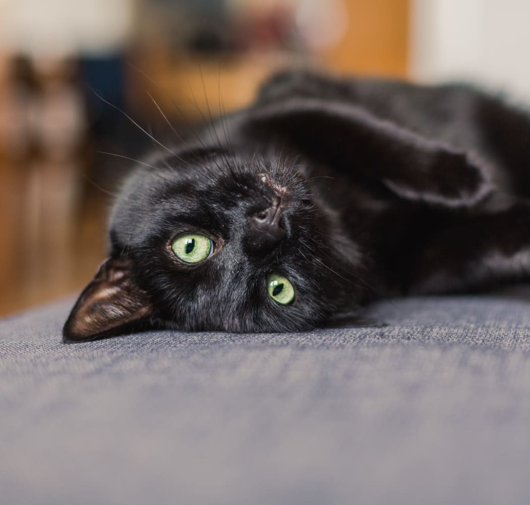 Happy cat laying on a couch at Crown Chase Apartments in Wichita, Kansas