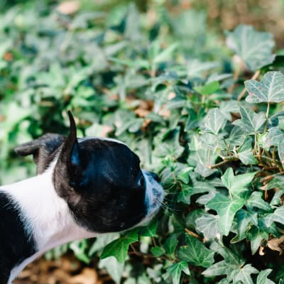 Resident pup smelling some ivy at Sofi at Forest Heights in Portland, Oregon