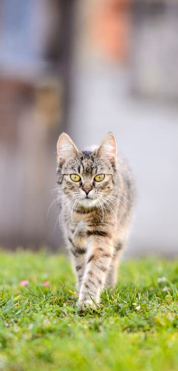 Cat in need of neutering services at Civic Feline Clinic in Walnut Creek, CA