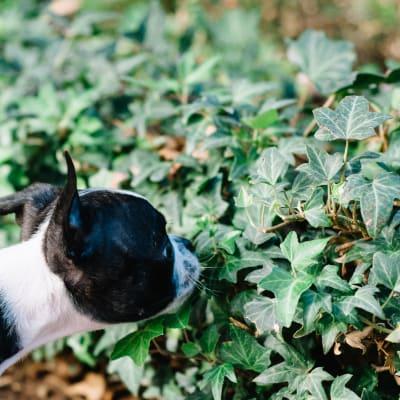 Dog smelling some ivy at Sofi Lake Oswego in Lake Oswego, Oregon