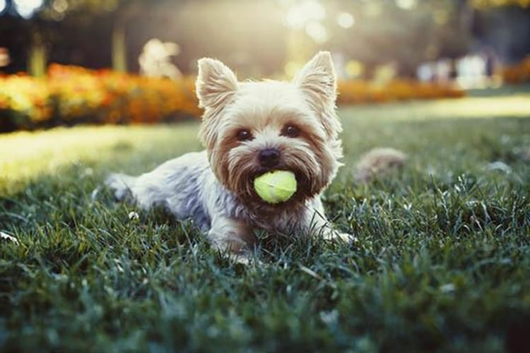 Cute puppy playing with a tennis ball at the onsite dog park at Highlands at Alexander Pointe in Charlotte, North Carolina