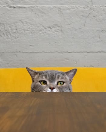 Cat peeping over a table top at Civic Feline Clinic in Walnut Creek, CA