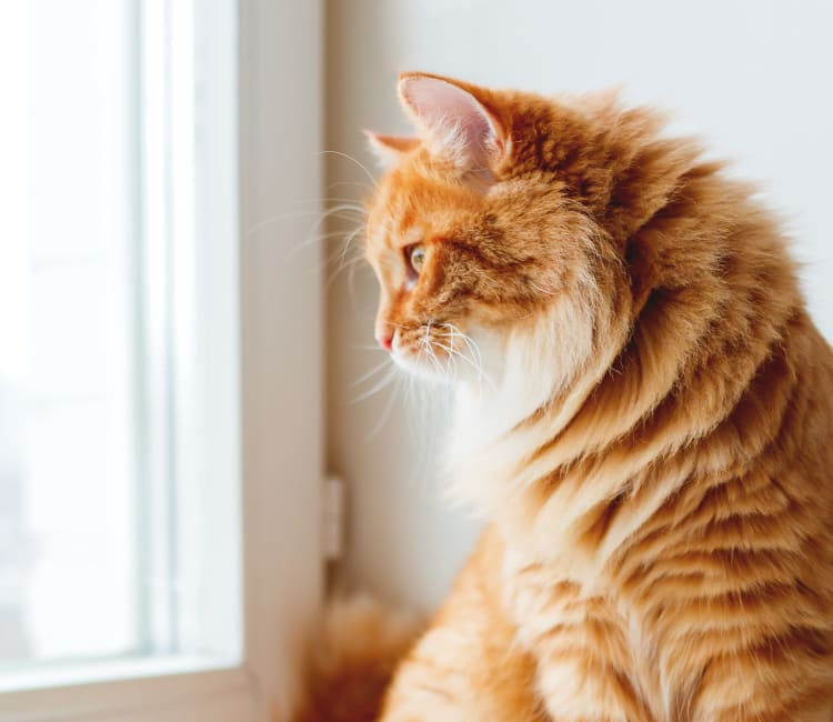 A kitten looking out the window of her new home at Villa Del Sol in Sunnyvale, California