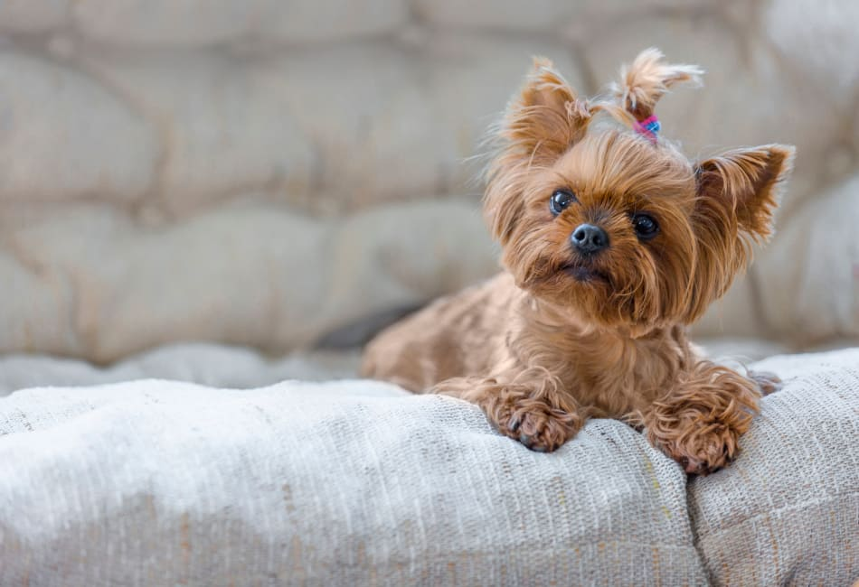 Cute little pup relaxing on the couch in her new home at Sofi Warner Center in Woodland Hills, California