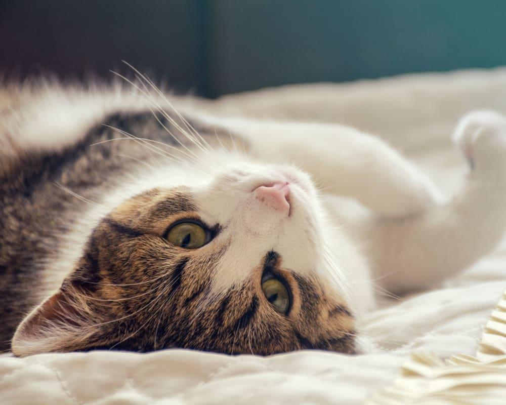 Cat laying in bed at Laurel Ridge in Northampton, Massachusetts