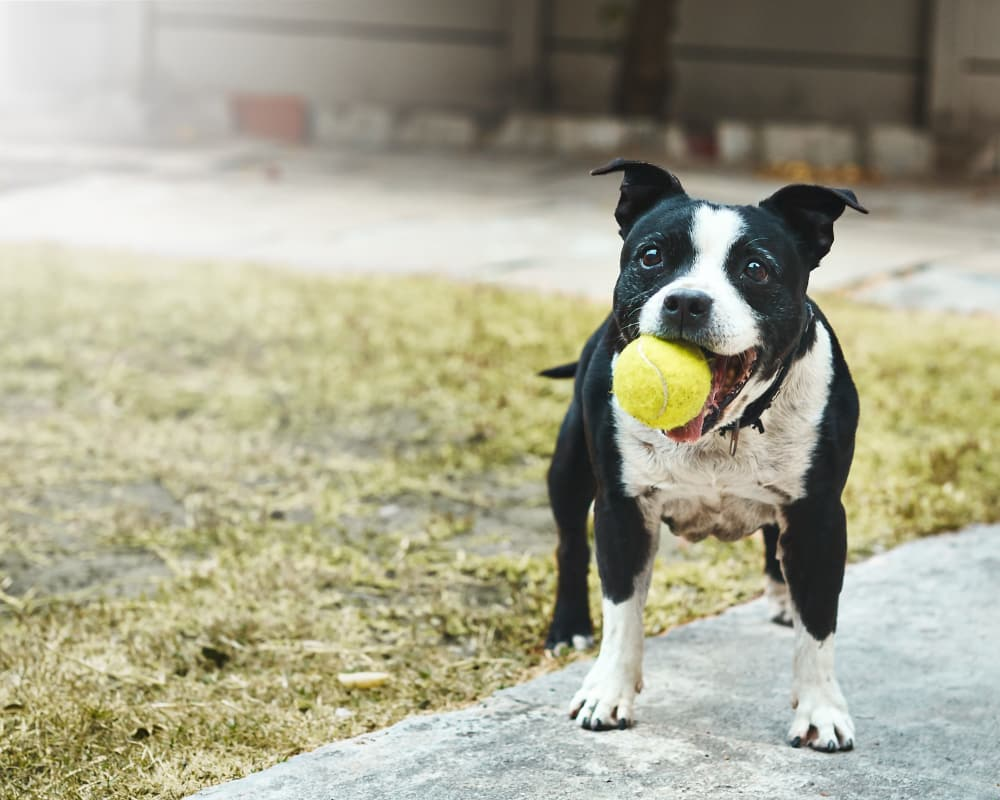 Dog playing with a ball at Legacy Brooks in San Antonio, Texas