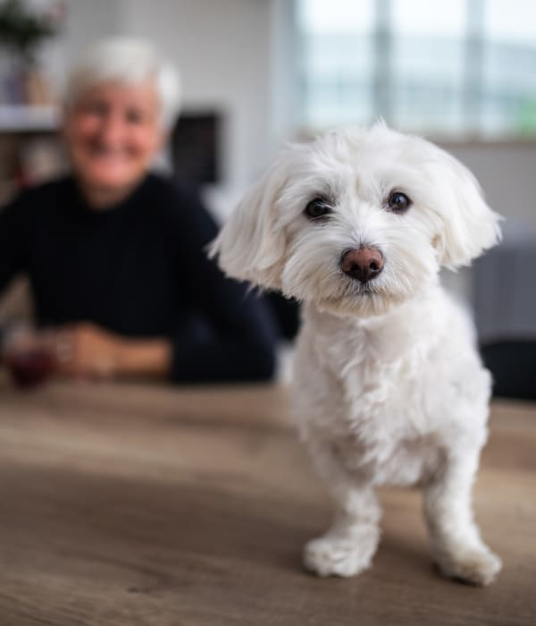 A small dog living with a resident at Inspired Living Delray Beach in Delray Beach, Florida