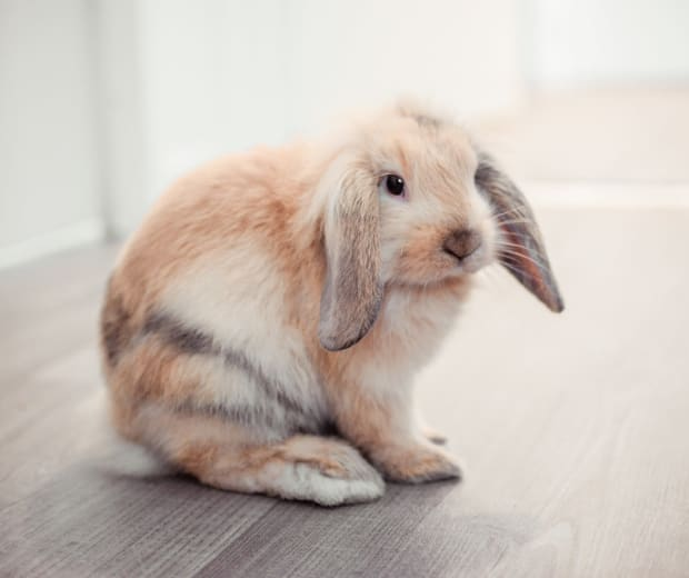 Beautiful rabbit at Angeles Clinic For Animals in Port Angeles, Washington