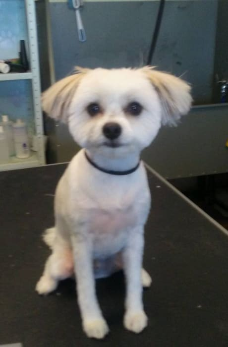 Pampered dog that had a nice groom at University Pet Resort in Merced, California